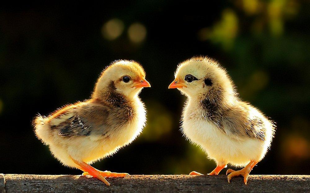 Пропойка цыплят антибиотиками и витаминами