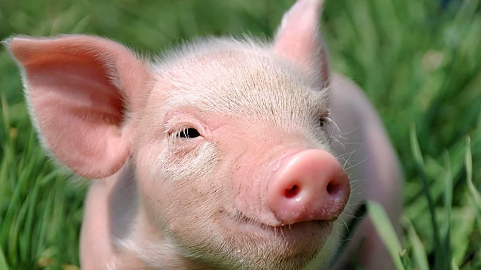 Отравление у свиней симптомы лечение