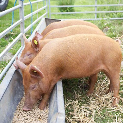 Кормление сухим кормом свиней в частных подсобных хозяйствах