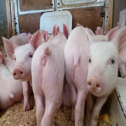 Уход за свиньями откорм на мясо