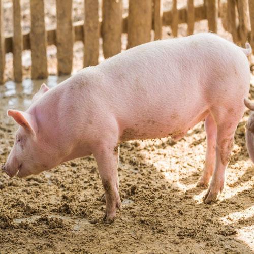 Свиньи ландрас разведение содержание продажа