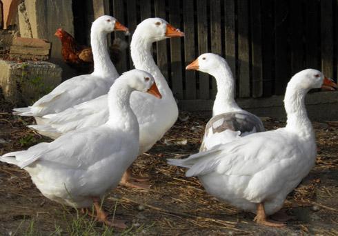 Белый пенистый понос гусят