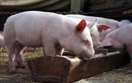 Как быстро откормить свинью