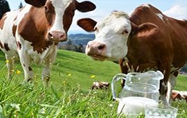 Причины появления молока с кровью у коров